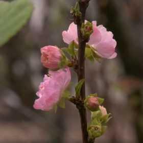 У Хмельницькому рожевим цвітом вкрилася слива