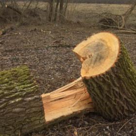 В Красилівському районі незаконно зрубали дерева