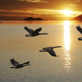 летять гуси