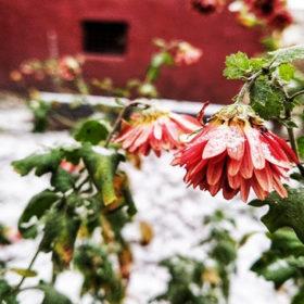 сніг, квіти, погода