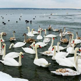 лебеді, водойма ХАЕС