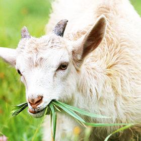 Тваринництво Хмельниччини зростає за рахунок кіз та овець