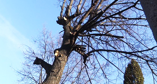 Омолодження дерев у Хмельницькому