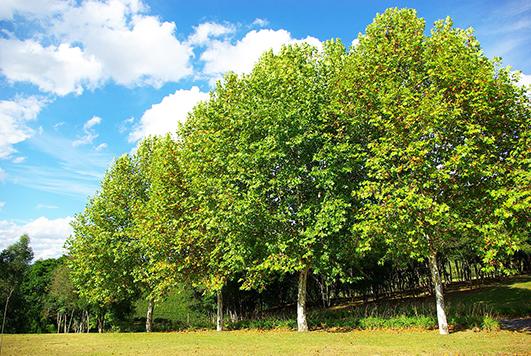 Так виглядають дорослі дерева платану.