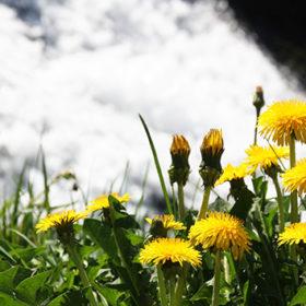 Якщо на схилах пагорбів з'являються перші квіти кульбаби, значить початок квітня буде теплим.