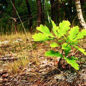 Серед саджанців, які вирощували для заліснення, переважають дуб, сосна, модрина.