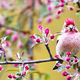 У цей час бувають перші грози (більш ранні бувають 23-31 березня), розпускається сіра вільха, якщо немає морозів.