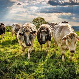 Корови в полі