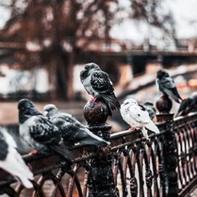 голуби на паккані