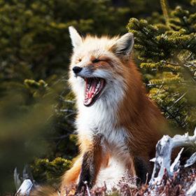лиса зевает