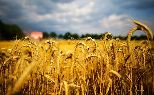 У минулому столітті під зернові відводили значно більші площі Хмельниччини, ніж зараз