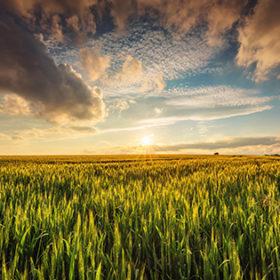 Green wheat field , sunset shot