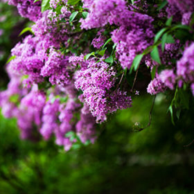 bunch of violet lilac flower (shallow DOF)
