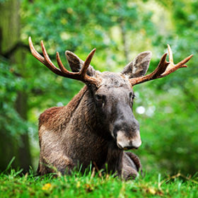 Wildlife scene from Sweden. Moose lying in grass under trees. Moose, North America, or Eurasian elk, Eurasia, Alces alces in the dark forest during rainy day. Beautiful animal in the nature habitat.
