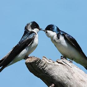 Pair of Tree Swallows (tachycineta bicolor) on a stump