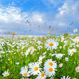many chamomile flowers on summer meadow over blue sky