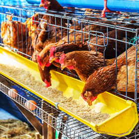 Red chickens in cell section eating feed.