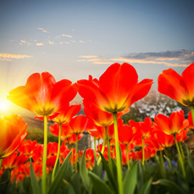 red tulips against a dusk sky , spring floral background