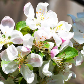 Blossoming twig of apple-tree