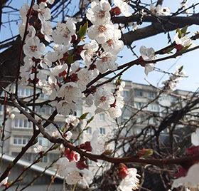 весняний цвіт абрикоса