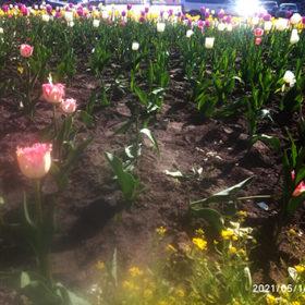 тюльпани на клумбі