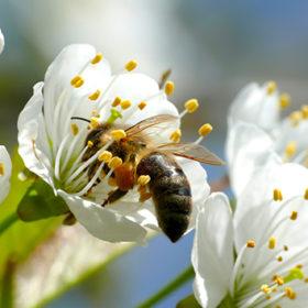 бджола на квітці