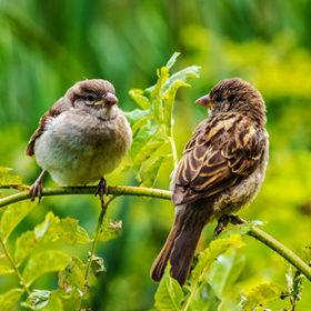 Two sparrows sit on a branch and look at each other in the park in the summer on the blur green background