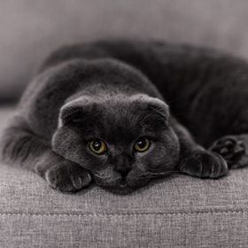 Little Briton cat on a black background. gray cat. pets