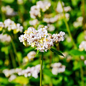 White flowers of buckwheat on the background of green leaves on the buckwheat field