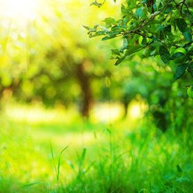 Apple garden green sunny background. Summer and autumn sesonal.