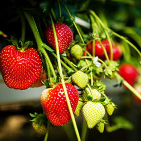 Ripe strawberries growing on a table top commercial system.