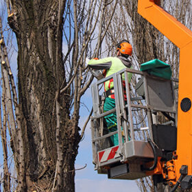 A worker with a chainsaw trim the tree branches on the high