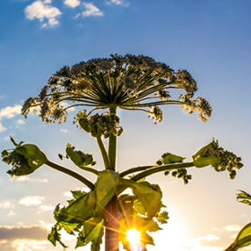 Giant Hogweed (Heracleum Mentagazzanium), aka Cow Parsnip - tall (up to 15-20 feet in height), herbaceous, biennial plant that invades disturbed areas across the Northeast and Pacific Northwestern United States, and Northern Europe