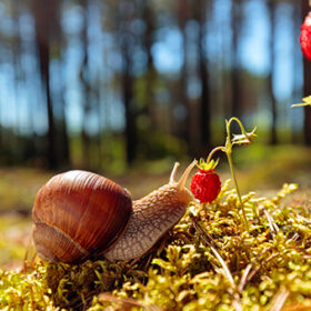 Big snail in the sink crawling to strawberries, summer day in the woods. Selective focus.