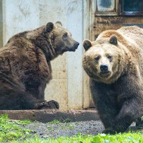 Black grizzly bears close up portrait