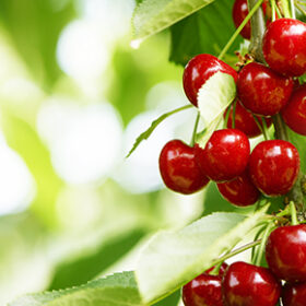 fresh and healthy cherries still growing on a tree ready to harvest. photographed with bright sunlight