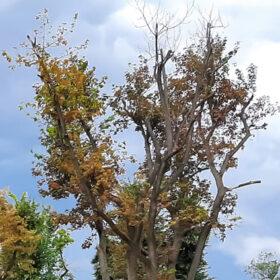 сухе дерево