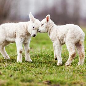 козенята на траві