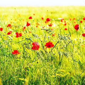 Red poppy flowers, summer field. Bright day