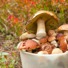 edible wild mushrooms in basket in the forest