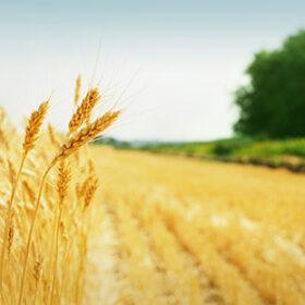 Yellow grain ready for harvest growing in a farm field