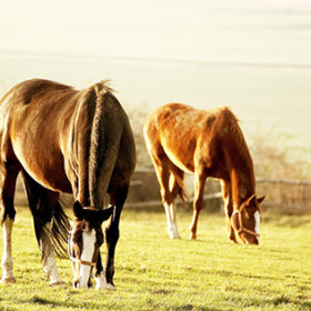 Horses grazing on pasture in the warm afternoon sun.