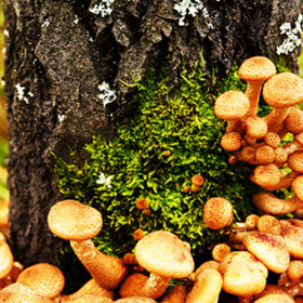 honey mushrooms grow on a tree in the forest, close up