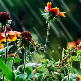 Image shows garden flowers been hit by summer rain