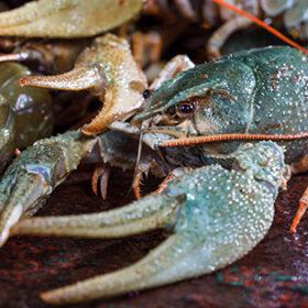 live crayfish close up on a metal surface
