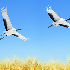 Two Japanese Cranes in flight against blue sky
