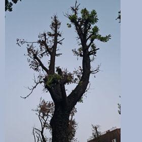 обрізане дерево