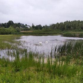 лебеді на озері