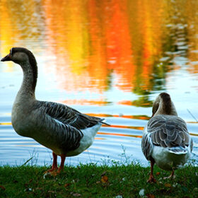 Pair of wild geese in fall forest