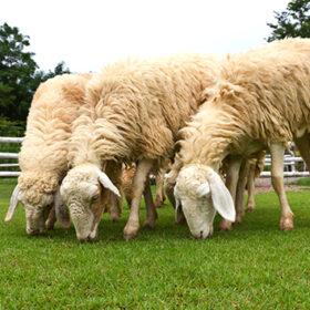 Sheep grazing fresh green grass on farm